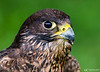 20160605_Green Chinmey Birds of Prey Day_556