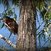Green Heron...Pinellas Park,Fl.   ©2014 RobertLesterPhotography.com