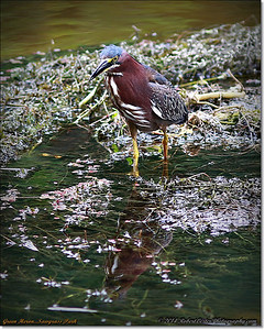 2014-06-12_IMG_1668_Green Heron   Sawgrass Park,St Pete,Fl _
