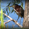 2014-09-20...Green Heron...Freedom Lake,Pinellas Park, FL...©2014 RobertLesterPhotography.com