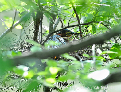 green_heron_nest001