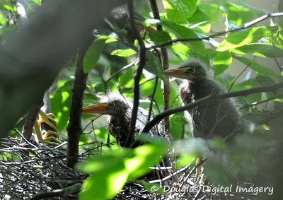 green_heron_chicks002