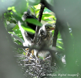 green_heron_chicks001