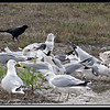 American Crow, Ring-billed Gull  and Laughing Gull...©PhotosRUs2008