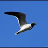 IMG_3053_Laughing Gull