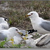 2013-02-13...Ring-billed Gull ...©PhotosRUs2008