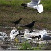 Ring-billed Gull , Laughing Gull and Boat-tailed Grackle (male and female)...©PhotosRUs2008
