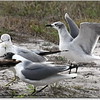 2013-02-13...Ring-billed Gull , Laughing Gull ...©PhotosRUs2008
