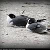 Laughing Gulls...Redington Shores Beach...©PhotosRUs2008