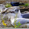 2013-02-13...Ring-billed Gull , Laughing Gull ..©PhotosRUs2008