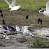 2013-02-13...Ring-billed Gull  and Laughing Gull...©PhotosRUs2008