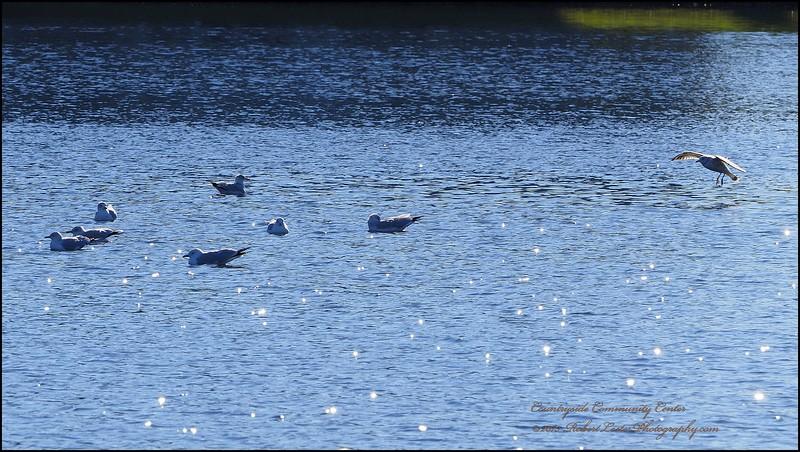 Gulls...Clearwater,Fl.