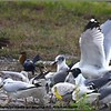 2013-02-13...Ring-billed Gull,Boat-tailed Grackle and Laughing Gull...©PhotosRUs2008