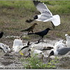 2013-02-13...Ring-billed Gull , Laughing Gull and Boat-tailed Grackle (male and female)...©PhotosRUs2008