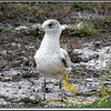 Ring-billed Gull...©PhotosRUs2008