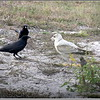 American Crow and Ring-billed Gull (Imm)...©PhotosRUs2008