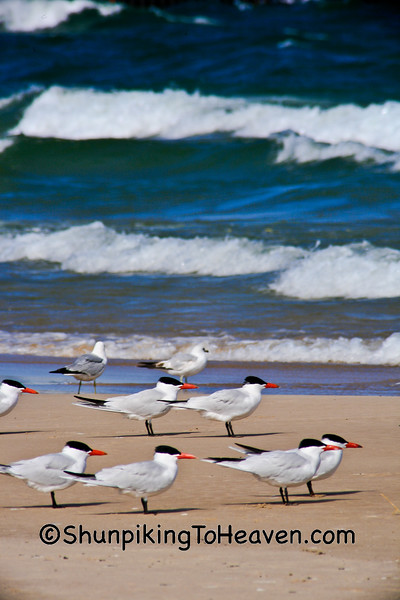 Caspian Terns and Ring-biled Gulls, Lake Michigan, Manistee, Michigan