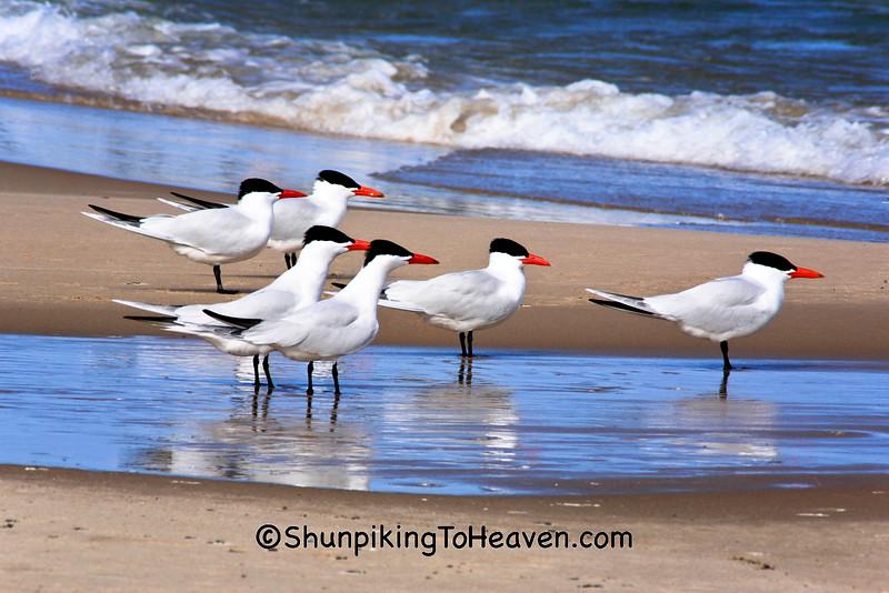 Caspian Terns, Lake Michigan, Manistee County, Michigan
