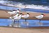 """Tern Against the Wind"" - Caspian Terns, Lake Michigan, Manistee County, Michigan"