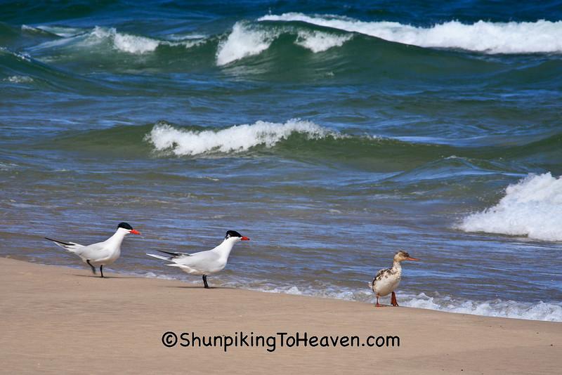 Caspian Terns and Red-Breasted Merganser, Lake Michigan, Manistee, Michigan