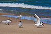 Caspian Terns and Ring-biled Gull, Lake Michigan, Manistee, Michigan