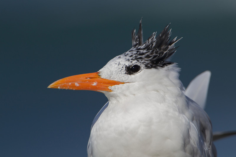 Royal Tern - non breeding adult