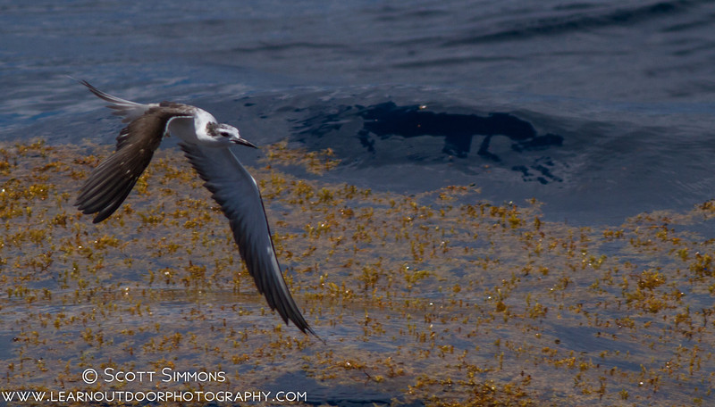 Bridled Tern