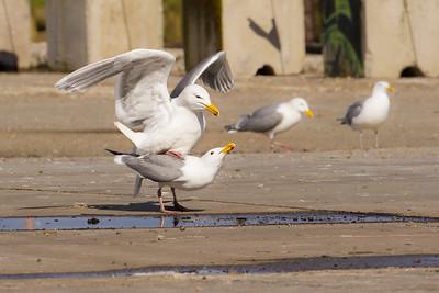 Glaucous-winged Gull copulating