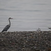Heron Cendree (8)
