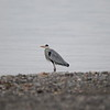 Heron Cendree (9)