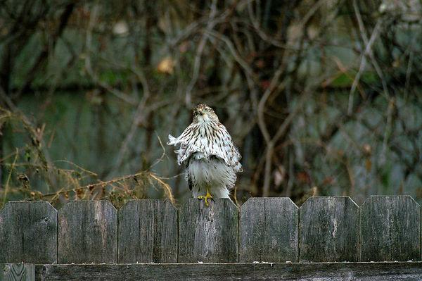 Hawk on Garden Fence