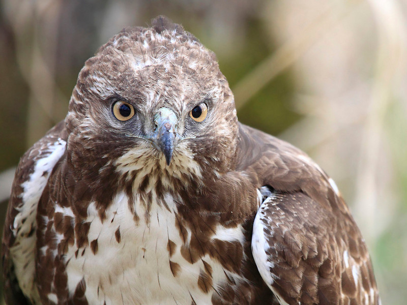 """A young red tail hawk showing no fear, seen at the Ridgefield National Wildlife Refuge  <div class=""""ss-paypal-button""""><br><form target=""""paypal"""" action=""""https://www.paypal.com/cgi-bin/webscr"""" method=""""post"""" ><input type=""""hidden"""" name=""""cmd"""" value=""""_cart""""><input type=""""hidden"""" name=""""business"""" value=""""947PXEXBHP9H8""""><input type=""""hidden"""" name=""""lc"""" value=""""US""""><input type=""""hidden"""" name=""""item_name"""" value=""""A young red tail hawk showing no fear, seen at the Ridgefield National Wildlife Refuge""""><input type=""""hidden"""" name=""""item_number"""" value=""""http:&#x2F;&#x2F;www.werthwildphotography.com&#x2F;Animals&#x2F;Birds&#x2F;Hawks-and-Harriers&#x2F;i-93RKgL5""""><input type=""""hidden"""" name=""""button_subtype"""" value=""""products""""><input type=""""hidden"""" name=""""no_note"""" value=""""0""""><input type=""""hidden"""" name=""""cn"""" value=""""Add special instructions to the seller:""""><input type=""""hidden"""" name=""""no_shipping"""" value=""""2""""><input type=""""hidden"""" name=""""currency_code"""" value=""""USD""""><input type=""""hidden"""" name=""""shipping"""" value=""""4.00""""><input type=""""hidden"""" name=""""add"""" value=""""1""""><input type=""""hidden"""" name=""""bn"""" value=""""PP-ShopCartBF:btn_cart_LG.gif:NonHosted""""><table class=""""printSize""""><tr><td><input type=""""hidden"""" name=""""on0"""" value=""""Print size"""">Print size</td></tr><tr><td><select name=""""os0""""> <option value=""""5 x 7"""">5 x 7 $14.00 USD</option> <option value=""""8 x 10"""">8 x 10 $20.00 USD</option> <option value=""""8 x 12"""">8 x 12 $20.00 USD</option> <option value=""""11 x 14"""">11 x 14 $28.00 USD</option> <option value=""""12 x 18"""">12 x 18 $35.00 USD</option> <option value=""""16 x 20"""">16 x 20 $50.00 USD</option></select> </td></tr></table><input type=""""hidden"""" name=""""currency_code"""" value=""""USD""""><input type=""""hidden"""" name=""""option_select0"""" value=""""5 x 7""""><input type=""""hidden"""" name=""""option_amount0"""" value=""""14.00""""><input type=""""hidden"""" name=""""option_select1"""" value=""""8 x 10""""><input type=""""hidden"""" name=""""option_amount1"""" value=""""20.00""""><input type=""""hidden"""" name=""""option_select2"""" value=""""8 x 12""""><input type=""""hidden"""" name=""""option_amount2"""" value=""""20.00""""><input type=""""hidden"""" name=""""option_se"""