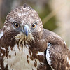 "A young red tail hawk showing no fear, seen at the Ridgefield National Wildlife Refuge  <div class=""ss-paypal-button""><br><form target=""paypal"" action=""https://www.paypal.com/cgi-bin/webscr"" method=""post"" ><input type=""hidden"" name=""cmd"" value=""_cart""><input type=""hidden"" name=""business"" value=""947PXEXBHP9H8""><input type=""hidden"" name=""lc"" value=""US""><input type=""hidden"" name=""item_name"" value=""A young red tail hawk showing no fear, seen at the Ridgefield National Wildlife Refuge""><input type=""hidden"" name=""item_number"" value=""http:&#x2F;&#x2F;www.werthwildphotography.com&#x2F;Animals&#x2F;Birds&#x2F;Hawks-and-Harriers&#x2F;i-93RKgL5""><input type=""hidden"" name=""button_subtype"" value=""products""><input type=""hidden"" name=""no_note"" value=""0""><input type=""hidden"" name=""cn"" value=""Add special instructions to the seller:""><input type=""hidden"" name=""no_shipping"" value=""2""><input type=""hidden"" name=""currency_code"" value=""USD""><input type=""hidden"" name=""shipping"" value=""4.00""><input type=""hidden"" name=""add"" value=""1""><input type=""hidden"" name=""bn"" value=""PP-ShopCartBF:btn_cart_LG.gif:NonHosted""><table class=""printSize""><tr><td><input type=""hidden"" name=""on0"" value=""Print size"">Print size</td></tr><tr><td><select name=""os0""> <option value=""5 x 7"">5 x 7 $14.00 USD</option> <option value=""8 x 10"">8 x 10 $20.00 USD</option> <option value=""8 x 12"">8 x 12 $20.00 USD</option> <option value=""11 x 14"">11 x 14 $28.00 USD</option> <option value=""12 x 18"">12 x 18 $35.00 USD</option> <option value=""16 x 20"">16 x 20 $50.00 USD</option></select> </td></tr></table><input type=""hidden"" name=""currency_code"" value=""USD""><input type=""hidden"" name=""option_select0"" value=""5 x 7""><input type=""hidden"" name=""option_amount0"" value=""14.00""><input type=""hidden"" name=""option_select1"" value=""8 x 10""><input type=""hidden"" name=""option_amount1"" value=""20.00""><input type=""hidden"" name=""option_select2"" value=""8 x 12""><input type=""hidden"" name=""option_amount2"" value=""20.00""><input type=""hidden"" name=""option_select3"" value=""11 x 14""><input type=""hidden"" name=""option_amount3"" value=""28.00""><input type=""hidden"" name=""option_select4"" value=""12 x 18""><input type=""hidden"" name=""option_amount4"" value=""35.00""><input type=""hidden"" name=""option_select5"" value=""16 x 20""><input type=""hidden"" name=""option_amount5"" value=""50.00""><input type=""hidden"" name=""option_index"" value=""0""><input type=""image"" src=""https://www.paypalobjects.com/en_US/i/btn/btn_cart_LG.gif"" border=""0"" name=""submit"" alt=""PayPal - The safer, easier way to pay online!"" class=""btnPayPal""><img alt="""" border=""0"" src=""https://www.paypalobjects.com/en_US/i/scr/pixel.gif"" width=""1"" height=""1""></form></div><div class=""ss-paypal-button-end"" style=""display:none""></div>"