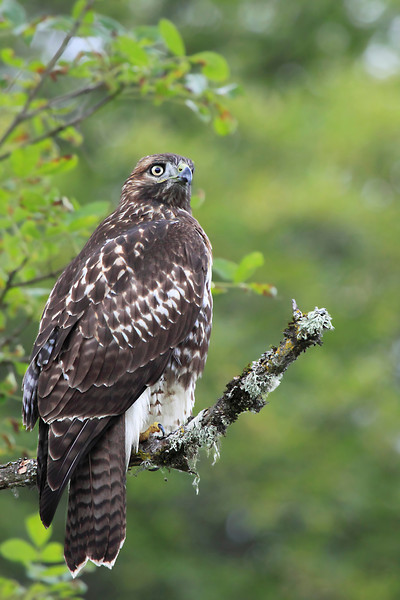 """Juvenile red tail hawk showing no fear as I approach at the Kiwa Trail entrance at Ridgefield National Wildlife Refuge.  <div class=""""ss-paypal-button""""><br><form target=""""paypal"""" action=""""https://www.paypal.com/cgi-bin/webscr"""" method=""""post"""" ><input type=""""hidden"""" name=""""cmd"""" value=""""_cart""""><input type=""""hidden"""" name=""""business"""" value=""""947PXEXBHP9H8""""><input type=""""hidden"""" name=""""lc"""" value=""""US""""><input type=""""hidden"""" name=""""item_name"""" value=""""Juvenile red tail hawk showing no fear as I approach at the Kiwa Trail entrance at Ridgefield National Wildlife Refuge.""""><input type=""""hidden"""" name=""""item_number"""" value=""""http:&#x2F;&#x2F;www.werthwildphotography.com&#x2F;Animals&#x2F;Birds&#x2F;Hawks-and-Harriers&#x2F;i-Cd5V3js""""><input type=""""hidden"""" name=""""button_subtype"""" value=""""products""""><input type=""""hidden"""" name=""""no_note"""" value=""""0""""><input type=""""hidden"""" name=""""cn"""" value=""""Add special instructions to the seller:""""><input type=""""hidden"""" name=""""no_shipping"""" value=""""2""""><input type=""""hidden"""" name=""""currency_code"""" value=""""USD""""><input type=""""hidden"""" name=""""shipping"""" value=""""4.00""""><input type=""""hidden"""" name=""""add"""" value=""""1""""><input type=""""hidden"""" name=""""bn"""" value=""""PP-ShopCartBF:btn_cart_LG.gif:NonHosted""""><table class=""""printSize""""><tr><td><input type=""""hidden"""" name=""""on0"""" value=""""Print size"""">Print size</td></tr><tr><td><select name=""""os0""""> <option value=""""5 x 7"""">5 x 7 $14.00 USD</option> <option value=""""8 x 10"""">8 x 10 $20.00 USD</option> <option value=""""8 x 12"""">8 x 12 $20.00 USD</option> <option value=""""11 x 14"""">11 x 14 $28.00 USD</option> <option value=""""12 x 18"""">12 x 18 $35.00 USD</option> <option value=""""16 x 20"""">16 x 20 $50.00 USD</option></select> </td></tr></table><input type=""""hidden"""" name=""""currency_code"""" value=""""USD""""><input type=""""hidden"""" name=""""option_select0"""" value=""""5 x 7""""><input type=""""hidden"""" name=""""option_amount0"""" value=""""14.00""""><input type=""""hidden"""" name=""""option_select1"""" value=""""8 x 10""""><input type=""""hidden"""" name=""""option_amount1"""" value=""""20.00""""><input type=""""hidden"""" name=""""option_select2"""" value=""""8 x 12""""><input type=""""hidden"""" name="""""""