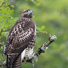 "Juvenile red tail hawk showing no fear as I approach at the Kiwa Trail entrance at Ridgefield National Wildlife Refuge.  <div class=""ss-paypal-button""><br><form target=""paypal"" action=""https://www.paypal.com/cgi-bin/webscr"" method=""post"" ><input type=""hidden"" name=""cmd"" value=""_cart""><input type=""hidden"" name=""business"" value=""947PXEXBHP9H8""><input type=""hidden"" name=""lc"" value=""US""><input type=""hidden"" name=""item_name"" value=""Juvenile red tail hawk showing no fear as I approach at the Kiwa Trail entrance at Ridgefield National Wildlife Refuge.""><input type=""hidden"" name=""item_number"" value=""http:&#x2F;&#x2F;www.werthwildphotography.com&#x2F;Animals&#x2F;Birds&#x2F;Hawks-and-Harriers&#x2F;i-Cd5V3js""><input type=""hidden"" name=""button_subtype"" value=""products""><input type=""hidden"" name=""no_note"" value=""0""><input type=""hidden"" name=""cn"" value=""Add special instructions to the seller:""><input type=""hidden"" name=""no_shipping"" value=""2""><input type=""hidden"" name=""currency_code"" value=""USD""><input type=""hidden"" name=""shipping"" value=""4.00""><input type=""hidden"" name=""add"" value=""1""><input type=""hidden"" name=""bn"" value=""PP-ShopCartBF:btn_cart_LG.gif:NonHosted""><table class=""printSize""><tr><td><input type=""hidden"" name=""on0"" value=""Print size"">Print size</td></tr><tr><td><select name=""os0""> <option value=""5 x 7"">5 x 7 $14.00 USD</option> <option value=""8 x 10"">8 x 10 $20.00 USD</option> <option value=""8 x 12"">8 x 12 $20.00 USD</option> <option value=""11 x 14"">11 x 14 $28.00 USD</option> <option value=""12 x 18"">12 x 18 $35.00 USD</option> <option value=""16 x 20"">16 x 20 $50.00 USD</option></select> </td></tr></table><input type=""hidden"" name=""currency_code"" value=""USD""><input type=""hidden"" name=""option_select0"" value=""5 x 7""><input type=""hidden"" name=""option_amount0"" value=""14.00""><input type=""hidden"" name=""option_select1"" value=""8 x 10""><input type=""hidden"" name=""option_amount1"" value=""20.00""><input type=""hidden"" name=""option_select2"" value=""8 x 12""><input type=""hidden"" name=""option_amount2"" value=""20.00""><input type=""hidden"" name=""option_select3"" value=""11 x 14""><input type=""hidden"" name=""option_amount3"" value=""28.00""><input type=""hidden"" name=""option_select4"" value=""12 x 18""><input type=""hidden"" name=""option_amount4"" value=""35.00""><input type=""hidden"" name=""option_select5"" value=""16 x 20""><input type=""hidden"" name=""option_amount5"" value=""50.00""><input type=""hidden"" name=""option_index"" value=""0""><input type=""image"" src=""https://www.paypalobjects.com/en_US/i/btn/btn_cart_LG.gif"" border=""0"" name=""submit"" alt=""PayPal - The safer, easier way to pay online!"" class=""btnPayPal""><img alt="""" border=""0"" src=""https://www.paypalobjects.com/en_US/i/scr/pixel.gif"" width=""1"" height=""1""></form></div><div class=""ss-paypal-button-end"" style=""display:none""></div>"