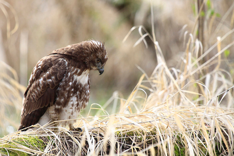 """A young red tail hawk on a not so common perch for a hawk. This long was resting right on the ground and this hawk let me get very close without spooking. Seen at Ridgefield National Wildlife Refuge  <div class=""""ss-paypal-button""""><br><form target=""""paypal"""" action=""""https://www.paypal.com/cgi-bin/webscr"""" method=""""post"""" ><input type=""""hidden"""" name=""""cmd"""" value=""""_cart""""><input type=""""hidden"""" name=""""business"""" value=""""947PXEXBHP9H8""""><input type=""""hidden"""" name=""""lc"""" value=""""US""""><input type=""""hidden"""" name=""""item_name"""" value=""""A young red tail hawk on a not so common perch for a hawk. This long was resting right on the ground and this hawk let me get very close without spooking. Seen at Ridgefield National Wildlife Refuge""""><input type=""""hidden"""" name=""""item_number"""" value=""""http:&#x2F;&#x2F;www.werthwildphotography.com&#x2F;Animals&#x2F;Birds&#x2F;Hawks-and-Harriers&#x2F;i-Dwqvppw""""><input type=""""hidden"""" name=""""button_subtype"""" value=""""products""""><input type=""""hidden"""" name=""""no_note"""" value=""""0""""><input type=""""hidden"""" name=""""cn"""" value=""""Add special instructions to the seller:""""><input type=""""hidden"""" name=""""no_shipping"""" value=""""2""""><input type=""""hidden"""" name=""""currency_code"""" value=""""USD""""><input type=""""hidden"""" name=""""shipping"""" value=""""4.00""""><input type=""""hidden"""" name=""""add"""" value=""""1""""><input type=""""hidden"""" name=""""bn"""" value=""""PP-ShopCartBF:btn_cart_LG.gif:NonHosted""""><table class=""""printSize""""><tr><td><input type=""""hidden"""" name=""""on0"""" value=""""Print size"""">Print size</td></tr><tr><td><select name=""""os0""""> <option value=""""5 x 7"""">5 x 7 $14.00 USD</option> <option value=""""8 x 10"""">8 x 10 $20.00 USD</option> <option value=""""8 x 12"""">8 x 12 $20.00 USD</option> <option value=""""11 x 14"""">11 x 14 $28.00 USD</option> <option value=""""12 x 18"""">12 x 18 $35.00 USD</option> <option value=""""16 x 20"""">16 x 20 $50.00 USD</option></select> </td></tr></table><input type=""""hidden"""" name=""""currency_code"""" value=""""USD""""><input type=""""hidden"""" name=""""option_select0"""" value=""""5 x 7""""><input type=""""hidden"""" name=""""option_amount0"""" value=""""14.00""""><input type=""""hidden"""" name=""""option_select1"""""""