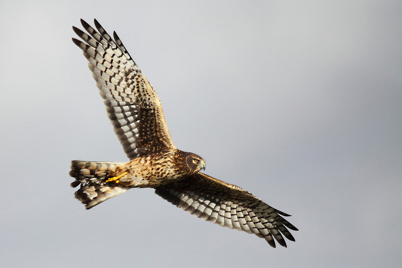 """This female northern harrier was making her rounds around the refuge looking for voles. The sun just happened to poke through the clouds and let her underside feathers up with the contrasting colors from the thunderhead/rain shower that had just past. Seen at Ridgefield National Wildlife Refuge  <div class=""""ss-paypal-button""""><br><form target=""""paypal"""" action=""""https://www.paypal.com/cgi-bin/webscr"""" method=""""post"""" ><input type=""""hidden"""" name=""""cmd"""" value=""""_cart""""><input type=""""hidden"""" name=""""business"""" value=""""947PXEXBHP9H8""""><input type=""""hidden"""" name=""""lc"""" value=""""US""""><input type=""""hidden"""" name=""""item_name"""" value=""""This female northern harrier was making her rounds around the refuge looking for voles. The sun just happened to poke through the clouds and let her underside feathers up with the contrasting colors from the thunderhead&#x2F;rain shower that had just past. Seen at Ridgefield National Wildlife Refuge""""><input type=""""hidden"""" name=""""item_number"""" value=""""http:&#x2F;&#x2F;www.werthwildphotography.com&#x2F;Animals&#x2F;Birds&#x2F;Hawks-and-Harriers&#x2F;i-GSXq3tq""""><input type=""""hidden"""" name=""""button_subtype"""" value=""""products""""><input type=""""hidden"""" name=""""no_note"""" value=""""0""""><input type=""""hidden"""" name=""""cn"""" value=""""Add special instructions to the seller:""""><input type=""""hidden"""" name=""""no_shipping"""" value=""""2""""><input type=""""hidden"""" name=""""currency_code"""" value=""""USD""""><input type=""""hidden"""" name=""""shipping"""" value=""""4.00""""><input type=""""hidden"""" name=""""add"""" value=""""1""""><input type=""""hidden"""" name=""""bn"""" value=""""PP-ShopCartBF:btn_cart_LG.gif:NonHosted""""><table class=""""printSize""""><tr><td><input type=""""hidden"""" name=""""on0"""" value=""""Print size"""">Print size</td></tr><tr><td><select name=""""os0""""> <option value=""""5 x 7"""">5 x 7 $14.00 USD</option> <option value=""""8 x 10"""">8 x 10 $20.00 USD</option> <option value=""""8 x 12"""">8 x 12 $20.00 USD</option> <option value=""""11 x 14"""">11 x 14 $28.00 USD</option> <option value=""""12 x 18"""">12 x 18 $35.00 USD</option> <option value=""""16 x 20"""">16 x 20 $50.00 USD</option></select> </td></tr></table><input type"""