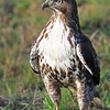 "A proud young red tail hawk stands tall on a small mound of grass in the evening light at RNWR.  <div class=""ss-paypal-button""><br><form target=""paypal"" action=""https://www.paypal.com/cgi-bin/webscr"" method=""post"" ><input type=""hidden"" name=""cmd"" value=""_cart""><input type=""hidden"" name=""business"" value=""947PXEXBHP9H8""><input type=""hidden"" name=""lc"" value=""US""><input type=""hidden"" name=""item_name"" value=""A proud young red tail hawk stands tall on a small mound of grass in the evening light at RNWR.""><input type=""hidden"" name=""item_number"" value=""http:&#x2F;&#x2F;www.werthwildphotography.com&#x2F;Animals&#x2F;Birds&#x2F;Hawks-and-Harriers&#x2F;i-NNsxZHP""><input type=""hidden"" name=""button_subtype"" value=""products""><input type=""hidden"" name=""no_note"" value=""0""><input type=""hidden"" name=""cn"" value=""Add special instructions to the seller:""><input type=""hidden"" name=""no_shipping"" value=""2""><input type=""hidden"" name=""currency_code"" value=""USD""><input type=""hidden"" name=""shipping"" value=""4.00""><input type=""hidden"" name=""add"" value=""1""><input type=""hidden"" name=""bn"" value=""PP-ShopCartBF:btn_cart_LG.gif:NonHosted""><table class=""printSize""><tr><td><input type=""hidden"" name=""on0"" value=""Print size"">Print size</td></tr><tr><td><select name=""os0""> <option value=""5 x 7"">5 x 7 $14.00 USD</option> <option value=""8 x 10"">8 x 10 $20.00 USD</option> <option value=""8 x 12"">8 x 12 $20.00 USD</option> <option value=""11 x 14"">11 x 14 $28.00 USD</option> <option value=""12 x 18"">12 x 18 $35.00 USD</option> <option value=""16 x 20"">16 x 20 $50.00 USD</option></select> </td></tr></table><input type=""hidden"" name=""currency_code"" value=""USD""><input type=""hidden"" name=""option_select0"" value=""5 x 7""><input type=""hidden"" name=""option_amount0"" value=""14.00""><input type=""hidden"" name=""option_select1"" value=""8 x 10""><input type=""hidden"" name=""option_amount1"" value=""20.00""><input type=""hidden"" name=""option_select2"" value=""8 x 12""><input type=""hidden"" name=""option_amount2"" value=""20.00""><input type=""hidden"" name=""option_select3"" value=""11 x 14""><input type=""hidden"" name=""option_amount3"" value=""28.00""><input type=""hidden"" name=""option_select4"" value=""12 x 18""><input type=""hidden"" name=""option_amount4"" value=""35.00""><input type=""hidden"" name=""option_select5"" value=""16 x 20""><input type=""hidden"" name=""option_amount5"" value=""50.00""><input type=""hidden"" name=""option_index"" value=""0""><input type=""image"" src=""https://www.paypalobjects.com/en_US/i/btn/btn_cart_LG.gif"" border=""0"" name=""submit"" alt=""PayPal - The safer, easier way to pay online!"" class=""btnPayPal""><img alt="""" border=""0"" src=""https://www.paypalobjects.com/en_US/i/scr/pixel.gif"" width=""1"" height=""1""></form></div><div class=""ss-paypal-button-end"" style=""display:none""></div>"