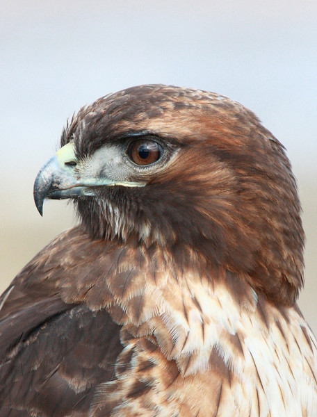 """Young red tail hawk profile, Ridgefield National Wildlife Refuge, 2010.  <div class=""""ss-paypal-button""""><br><form target=""""paypal"""" action=""""https://www.paypal.com/cgi-bin/webscr"""" method=""""post"""" ><input type=""""hidden"""" name=""""cmd"""" value=""""_cart""""><input type=""""hidden"""" name=""""business"""" value=""""947PXEXBHP9H8""""><input type=""""hidden"""" name=""""lc"""" value=""""US""""><input type=""""hidden"""" name=""""item_name"""" value=""""Young red tail hawk profile, Ridgefield National Wildlife Refuge, 2010.""""><input type=""""hidden"""" name=""""item_number"""" value=""""http:&#x2F;&#x2F;www.werthwildphotography.com&#x2F;Animals&#x2F;Birds&#x2F;Hawks-and-Harriers&#x2F;i-RKmXvkg""""><input type=""""hidden"""" name=""""button_subtype"""" value=""""products""""><input type=""""hidden"""" name=""""no_note"""" value=""""0""""><input type=""""hidden"""" name=""""cn"""" value=""""Add special instructions to the seller:""""><input type=""""hidden"""" name=""""no_shipping"""" value=""""2""""><input type=""""hidden"""" name=""""currency_code"""" value=""""USD""""><input type=""""hidden"""" name=""""shipping"""" value=""""4.00""""><input type=""""hidden"""" name=""""add"""" value=""""1""""><input type=""""hidden"""" name=""""bn"""" value=""""PP-ShopCartBF:btn_cart_LG.gif:NonHosted""""><table class=""""printSize""""><tr><td><input type=""""hidden"""" name=""""on0"""" value=""""Print size"""">Print size</td></tr><tr><td><select name=""""os0""""> <option value=""""5 x 7"""">5 x 7 $14.00 USD</option> <option value=""""8 x 10"""">8 x 10 $20.00 USD</option> <option value=""""8 x 12"""">8 x 12 $20.00 USD</option> <option value=""""11 x 14"""">11 x 14 $28.00 USD</option> <option value=""""12 x 18"""">12 x 18 $35.00 USD</option> <option value=""""16 x 20"""">16 x 20 $50.00 USD</option></select> </td></tr></table><input type=""""hidden"""" name=""""currency_code"""" value=""""USD""""><input type=""""hidden"""" name=""""option_select0"""" value=""""5 x 7""""><input type=""""hidden"""" name=""""option_amount0"""" value=""""14.00""""><input type=""""hidden"""" name=""""option_select1"""" value=""""8 x 10""""><input type=""""hidden"""" name=""""option_amount1"""" value=""""20.00""""><input type=""""hidden"""" name=""""option_select2"""" value=""""8 x 12""""><input type=""""hidden"""" name=""""option_amount2"""" value=""""20.00""""><input type=""""hidden"""" name=""""option_select3"""" value=""""11 x 14""""><input """