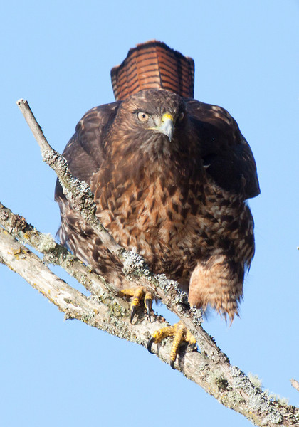 "This red tail hawk had some beautiful deep brown and red coloration and was not bashful. Shortly after this shot was taken it took flight and landed on a branch even closer to the road.  Seen at Ridgefield National Wildlife Refuge  <div class=""ss-paypal-button""><br><form target=""paypal"" action=""https://www.paypal.com/cgi-bin/webscr"" method=""post"" ><input type=""hidden"" name=""cmd"" value=""_cart""><input type=""hidden"" name=""business"" value=""947PXEXBHP9H8""><input type=""hidden"" name=""lc"" value=""US""><input type=""hidden"" name=""item_name"" value=""This red tail hawk had some beautiful deep brown and red coloration and was not bashful. Shortly after this shot was taken it took flight and landed on a branch even closer to the road.  Seen at Ridgefield National Wildlife Refuge""><input type=""hidden"" name=""item_number"" value=""http:&#x2F;&#x2F;www.werthwildphotography.com&#x2F;Animals&#x2F;Birds&#x2F;Hawks-and-Harriers&#x2F;i-SVsjpQ6""><input type=""hidden"" name=""button_subtype"" value=""products""><input type=""hidden"" name=""no_note"" value=""0""><input type=""hidden"" name=""cn"" value=""Add special instructions to the seller:""><input type=""hidden"" name=""no_shipping"" value=""2""><input type=""hidden"" name=""currency_code"" value=""USD""><input type=""hidden"" name=""shipping"" value=""4.00""><input type=""hidden"" name=""add"" value=""1""><input type=""hidden"" name=""bn"" value=""PP-ShopCartBF:btn_cart_LG.gif:NonHosted""><table class=""printSize""><tr><td><input type=""hidden"" name=""on0"" value=""Print size"">Print size</td></tr><tr><td><select name=""os0""> <option value=""5 x 7"">5 x 7 $14.00 USD</option> <option value=""8 x 10"">8 x 10 $20.00 USD</option> <option value=""8 x 12"">8 x 12 $20.00 USD</option> <option value=""11 x 14"">11 x 14 $28.00 USD</option> <option value=""12 x 18"">12 x 18 $35.00 USD</option> <option value=""16 x 20"">16 x 20 $50.00 USD</option></select> </td></tr></table><input type=""hidden"" name=""currency_code"" value=""USD""><input type=""hidden"" name=""option_select0"" value=""5 x 7""><input type=""hidden"" name=""option_amount0"" value=""14.00""><input type=""hidden"" name=""option_select1"" value=""8 x 10""><input type=""hidden"" name=""option_amount1"" value=""20.00""><input type=""hidden"" name=""option_select2"" value=""8 x 12""><input type=""hidden"" name=""option_amount2"" value=""20.00""><input type=""hidden"" name=""option_select3"" value=""11 x 14""><input type=""hidden"" name=""option_amount3"" value=""28.00""><input type=""hidden"" name=""option_select4"" value=""12 x 18""><input type=""hidden"" name=""option_amount4"" value=""35.00""><input type=""hidden"" name=""option_select5"" value=""16 x 20""><input type=""hidden"" name=""option_amount5"" value=""50.00""><input type=""hidden"" name=""option_index"" value=""0""><input type=""image"" src=""https://www.paypalobjects.com/en_US/i/btn/btn_cart_LG.gif"" border=""0"" name=""submit"" alt=""PayPal - The safer, easier way to pay online!"" class=""btnPayPal""><img alt="""" border=""0"" src=""https://www.paypalobjects.com/en_US/i/scr/pixel.gif"" width=""1"" height=""1""></form></div><div class=""ss-paypal-button-end"" style=""display:none""></div>"