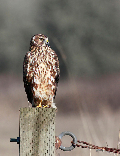 "Female Northern Harrier on her look out post at Ridgefield National Wildlife Refuge.  <div class=""ss-paypal-button""><br><form target=""paypal"" action=""https://www.paypal.com/cgi-bin/webscr"" method=""post"" ><input type=""hidden"" name=""cmd"" value=""_cart""><input type=""hidden"" name=""business"" value=""947PXEXBHP9H8""><input type=""hidden"" name=""lc"" value=""US""><input type=""hidden"" name=""item_name"" value=""Female Northern Harrier on her look out post at Ridgefield National Wildlife Refuge.""><input type=""hidden"" name=""item_number"" value=""http:&#x2F;&#x2F;www.werthwildphotography.com&#x2F;Animals&#x2F;Birds&#x2F;Hawks-and-Harriers&#x2F;i-VZJM5pT""><input type=""hidden"" name=""button_subtype"" value=""products""><input type=""hidden"" name=""no_note"" value=""0""><input type=""hidden"" name=""cn"" value=""Add special instructions to the seller:""><input type=""hidden"" name=""no_shipping"" value=""2""><input type=""hidden"" name=""currency_code"" value=""USD""><input type=""hidden"" name=""shipping"" value=""4.00""><input type=""hidden"" name=""add"" value=""1""><input type=""hidden"" name=""bn"" value=""PP-ShopCartBF:btn_cart_LG.gif:NonHosted""><table class=""printSize""><tr><td><input type=""hidden"" name=""on0"" value=""Print size"">Print size</td></tr><tr><td><select name=""os0""> <option value=""5 x 7"">5 x 7 $14.00 USD</option> <option value=""8 x 10"">8 x 10 $20.00 USD</option> <option value=""8 x 12"">8 x 12 $20.00 USD</option> <option value=""11 x 14"">11 x 14 $28.00 USD</option> <option value=""12 x 18"">12 x 18 $35.00 USD</option> <option value=""16 x 20"">16 x 20 $50.00 USD</option></select> </td></tr></table><input type=""hidden"" name=""currency_code"" value=""USD""><input type=""hidden"" name=""option_select0"" value=""5 x 7""><input type=""hidden"" name=""option_amount0"" value=""14.00""><input type=""hidden"" name=""option_select1"" value=""8 x 10""><input type=""hidden"" name=""option_amount1"" value=""20.00""><input type=""hidden"" name=""option_select2"" value=""8 x 12""><input type=""hidden"" name=""option_amount2"" value=""20.00""><input type=""hidden"" name=""option_select3"" value=""11 x 14""><input type=""hidden"" name=""option_amount3"" value=""28.00""><input type=""hidden"" name=""option_select4"" value=""12 x 18""><input type=""hidden"" name=""option_amount4"" value=""35.00""><input type=""hidden"" name=""option_select5"" value=""16 x 20""><input type=""hidden"" name=""option_amount5"" value=""50.00""><input type=""hidden"" name=""option_index"" value=""0""><input type=""image"" src=""https://www.paypalobjects.com/en_US/i/btn/btn_cart_LG.gif"" border=""0"" name=""submit"" alt=""PayPal - The safer, easier way to pay online!"" class=""btnPayPal""><img alt="""" border=""0"" src=""https://www.paypalobjects.com/en_US/i/scr/pixel.gif"" width=""1"" height=""1""></form></div><div class=""ss-paypal-button-end"" style=""display:none""></div>"