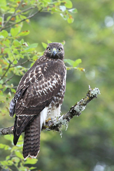 "A young red tail hawk at Ridgefield National Wildlife Refuge  <div class=""ss-paypal-button""><br><form target=""paypal"" action=""https://www.paypal.com/cgi-bin/webscr"" method=""post"" ><input type=""hidden"" name=""cmd"" value=""_cart""><input type=""hidden"" name=""business"" value=""947PXEXBHP9H8""><input type=""hidden"" name=""lc"" value=""US""><input type=""hidden"" name=""item_name"" value=""A young red tail hawk at Ridgefield National Wildlife Refuge""><input type=""hidden"" name=""item_number"" value=""http:&#x2F;&#x2F;www.werthwildphotography.com&#x2F;Animals&#x2F;Birds&#x2F;Hawks-and-Harriers&#x2F;i-XhfDZ9v""><input type=""hidden"" name=""button_subtype"" value=""products""><input type=""hidden"" name=""no_note"" value=""0""><input type=""hidden"" name=""cn"" value=""Add special instructions to the seller:""><input type=""hidden"" name=""no_shipping"" value=""2""><input type=""hidden"" name=""currency_code"" value=""USD""><input type=""hidden"" name=""shipping"" value=""4.00""><input type=""hidden"" name=""add"" value=""1""><input type=""hidden"" name=""bn"" value=""PP-ShopCartBF:btn_cart_LG.gif:NonHosted""><table class=""printSize""><tr><td><input type=""hidden"" name=""on0"" value=""Print size"">Print size</td></tr><tr><td><select name=""os0""> <option value=""5 x 7"">5 x 7 $14.00 USD</option> <option value=""8 x 10"">8 x 10 $20.00 USD</option> <option value=""8 x 12"">8 x 12 $20.00 USD</option> <option value=""11 x 14"">11 x 14 $28.00 USD</option> <option value=""12 x 18"">12 x 18 $35.00 USD</option> <option value=""16 x 20"">16 x 20 $50.00 USD</option></select> </td></tr></table><input type=""hidden"" name=""currency_code"" value=""USD""><input type=""hidden"" name=""option_select0"" value=""5 x 7""><input type=""hidden"" name=""option_amount0"" value=""14.00""><input type=""hidden"" name=""option_select1"" value=""8 x 10""><input type=""hidden"" name=""option_amount1"" value=""20.00""><input type=""hidden"" name=""option_select2"" value=""8 x 12""><input type=""hidden"" name=""option_amount2"" value=""20.00""><input type=""hidden"" name=""option_select3"" value=""11 x 14""><input type=""hidden"" name=""option_amount3"" value=""28.00""><input type=""hidden"" name=""option_select4"" value=""12 x 18""><input type=""hidden"" name=""option_amount4"" value=""35.00""><input type=""hidden"" name=""option_select5"" value=""16 x 20""><input type=""hidden"" name=""option_amount5"" value=""50.00""><input type=""hidden"" name=""option_index"" value=""0""><input type=""image"" src=""https://www.paypalobjects.com/en_US/i/btn/btn_cart_LG.gif"" border=""0"" name=""submit"" alt=""PayPal - The safer, easier way to pay online!"" class=""btnPayPal""><img alt="""" border=""0"" src=""https://www.paypalobjects.com/en_US/i/scr/pixel.gif"" width=""1"" height=""1""></form></div><div class=""ss-paypal-button-end"" style=""display:none""></div>"