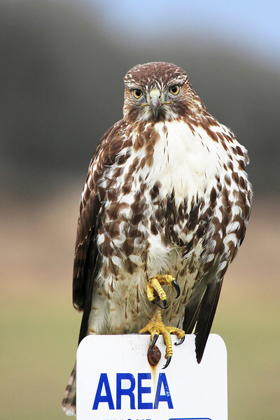 "A young red tail hawk stretching those powerful talons on a post at Ridgefield National Wildlife Refuge  <div class=""ss-paypal-button""><br><form target=""paypal"" action=""https://www.paypal.com/cgi-bin/webscr"" method=""post"" ><input type=""hidden"" name=""cmd"" value=""_cart""><input type=""hidden"" name=""business"" value=""947PXEXBHP9H8""><input type=""hidden"" name=""lc"" value=""US""><input type=""hidden"" name=""item_name"" value=""A young red tail hawk stretching those powerful talons on a post at Ridgefield National Wildlife Refuge""><input type=""hidden"" name=""item_number"" value=""http:&#x2F;&#x2F;www.werthwildphotography.com&#x2F;Animals&#x2F;Birds&#x2F;Hawks-and-Harriers&#x2F;i-ZF6LP7q""><input type=""hidden"" name=""button_subtype"" value=""products""><input type=""hidden"" name=""no_note"" value=""0""><input type=""hidden"" name=""cn"" value=""Add special instructions to the seller:""><input type=""hidden"" name=""no_shipping"" value=""2""><input type=""hidden"" name=""currency_code"" value=""USD""><input type=""hidden"" name=""shipping"" value=""4.00""><input type=""hidden"" name=""add"" value=""1""><input type=""hidden"" name=""bn"" value=""PP-ShopCartBF:btn_cart_LG.gif:NonHosted""><table class=""printSize""><tr><td><input type=""hidden"" name=""on0"" value=""Print size"">Print size</td></tr><tr><td><select name=""os0""> <option value=""5 x 7"">5 x 7 $14.00 USD</option> <option value=""8 x 10"">8 x 10 $20.00 USD</option> <option value=""8 x 12"">8 x 12 $20.00 USD</option> <option value=""11 x 14"">11 x 14 $28.00 USD</option> <option value=""12 x 18"">12 x 18 $35.00 USD</option> <option value=""16 x 20"">16 x 20 $50.00 USD</option></select> </td></tr></table><input type=""hidden"" name=""currency_code"" value=""USD""><input type=""hidden"" name=""option_select0"" value=""5 x 7""><input type=""hidden"" name=""option_amount0"" value=""14.00""><input type=""hidden"" name=""option_select1"" value=""8 x 10""><input type=""hidden"" name=""option_amount1"" value=""20.00""><input type=""hidden"" name=""option_select2"" value=""8 x 12""><input type=""hidden"" name=""option_amount2"" value=""20.00""><input type=""hidden"" name=""option_select3"" value=""11 x 14""><input type=""hidden"" name=""option_amount3"" value=""28.00""><input type=""hidden"" name=""option_select4"" value=""12 x 18""><input type=""hidden"" name=""option_amount4"" value=""35.00""><input type=""hidden"" name=""option_select5"" value=""16 x 20""><input type=""hidden"" name=""option_amount5"" value=""50.00""><input type=""hidden"" name=""option_index"" value=""0""><input type=""image"" src=""https://www.paypalobjects.com/en_US/i/btn/btn_cart_LG.gif"" border=""0"" name=""submit"" alt=""PayPal - The safer, easier way to pay online!"" class=""btnPayPal""><img alt="""" border=""0"" src=""https://www.paypalobjects.com/en_US/i/scr/pixel.gif"" width=""1"" height=""1""></form></div><div class=""ss-paypal-button-end"" style=""display:none""></div>"