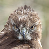 "Young red tail hawk closeup. Seen in the wild at Ridgefield National Wildlife Refuge  <div class=""ss-paypal-button""><br><form target=""paypal"" action=""https://www.paypal.com/cgi-bin/webscr"" method=""post"" ><input type=""hidden"" name=""cmd"" value=""_cart""><input type=""hidden"" name=""business"" value=""947PXEXBHP9H8""><input type=""hidden"" name=""lc"" value=""US""><input type=""hidden"" name=""item_name"" value=""Young red tail hawk closeup. Seen in the wild at Ridgefield National Wildlife Refuge""><input type=""hidden"" name=""item_number"" value=""http:&#x2F;&#x2F;www.werthwildphotography.com&#x2F;Animals&#x2F;Birds&#x2F;Hawks-and-Harriers&#x2F;i-bvRrXF8""><input type=""hidden"" name=""button_subtype"" value=""products""><input type=""hidden"" name=""no_note"" value=""0""><input type=""hidden"" name=""cn"" value=""Add special instructions to the seller:""><input type=""hidden"" name=""no_shipping"" value=""2""><input type=""hidden"" name=""currency_code"" value=""USD""><input type=""hidden"" name=""shipping"" value=""4.00""><input type=""hidden"" name=""add"" value=""1""><input type=""hidden"" name=""bn"" value=""PP-ShopCartBF:btn_cart_LG.gif:NonHosted""><table class=""printSize""><tr><td><input type=""hidden"" name=""on0"" value=""Print size"">Print size</td></tr><tr><td><select name=""os0""> <option value=""5 x 7"">5 x 7 $14.00 USD</option> <option value=""8 x 10"">8 x 10 $20.00 USD</option> <option value=""8 x 12"">8 x 12 $20.00 USD</option> <option value=""11 x 14"">11 x 14 $28.00 USD</option> <option value=""12 x 18"">12 x 18 $35.00 USD</option> <option value=""16 x 20"">16 x 20 $50.00 USD</option></select> </td></tr></table><input type=""hidden"" name=""currency_code"" value=""USD""><input type=""hidden"" name=""option_select0"" value=""5 x 7""><input type=""hidden"" name=""option_amount0"" value=""14.00""><input type=""hidden"" name=""option_select1"" value=""8 x 10""><input type=""hidden"" name=""option_amount1"" value=""20.00""><input type=""hidden"" name=""option_select2"" value=""8 x 12""><input type=""hidden"" name=""option_amount2"" value=""20.00""><input type=""hidden"" name=""option_select3"" value=""11 x 14""><input type=""hidden"" name=""option_amount3"" value=""28.00""><input type=""hidden"" name=""option_select4"" value=""12 x 18""><input type=""hidden"" name=""option_amount4"" value=""35.00""><input type=""hidden"" name=""option_select5"" value=""16 x 20""><input type=""hidden"" name=""option_amount5"" value=""50.00""><input type=""hidden"" name=""option_index"" value=""0""><input type=""image"" src=""https://www.paypalobjects.com/en_US/i/btn/btn_cart_LG.gif"" border=""0"" name=""submit"" alt=""PayPal - The safer, easier way to pay online!"" class=""btnPayPal""><img alt="""" border=""0"" src=""https://www.paypalobjects.com/en_US/i/scr/pixel.gif"" width=""1"" height=""1""></form></div><div class=""ss-paypal-button-end"" style=""display:none""></div>"