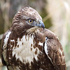"Young red tail hawk closeup. Seen in the wild at Ridgefield National Wildlife Refuge  <div class=""ss-paypal-button""><br><form target=""paypal"" action=""https://www.paypal.com/cgi-bin/webscr"" method=""post"" ><input type=""hidden"" name=""cmd"" value=""_cart""><input type=""hidden"" name=""business"" value=""947PXEXBHP9H8""><input type=""hidden"" name=""lc"" value=""US""><input type=""hidden"" name=""item_name"" value=""Young red tail hawk closeup. Seen in the wild at Ridgefield National Wildlife Refuge""><input type=""hidden"" name=""item_number"" value=""http:&#x2F;&#x2F;www.werthwildphotography.com&#x2F;Animals&#x2F;Birds&#x2F;Hawks-and-Harriers&#x2F;i-chkhjvT""><input type=""hidden"" name=""button_subtype"" value=""products""><input type=""hidden"" name=""no_note"" value=""0""><input type=""hidden"" name=""cn"" value=""Add special instructions to the seller:""><input type=""hidden"" name=""no_shipping"" value=""2""><input type=""hidden"" name=""currency_code"" value=""USD""><input type=""hidden"" name=""shipping"" value=""4.00""><input type=""hidden"" name=""add"" value=""1""><input type=""hidden"" name=""bn"" value=""PP-ShopCartBF:btn_cart_LG.gif:NonHosted""><table class=""printSize""><tr><td><input type=""hidden"" name=""on0"" value=""Print size"">Print size</td></tr><tr><td><select name=""os0""> <option value=""5 x 7"">5 x 7 $14.00 USD</option> <option value=""8 x 10"">8 x 10 $20.00 USD</option> <option value=""8 x 12"">8 x 12 $20.00 USD</option> <option value=""11 x 14"">11 x 14 $28.00 USD</option> <option value=""12 x 18"">12 x 18 $35.00 USD</option> <option value=""16 x 20"">16 x 20 $50.00 USD</option></select> </td></tr></table><input type=""hidden"" name=""currency_code"" value=""USD""><input type=""hidden"" name=""option_select0"" value=""5 x 7""><input type=""hidden"" name=""option_amount0"" value=""14.00""><input type=""hidden"" name=""option_select1"" value=""8 x 10""><input type=""hidden"" name=""option_amount1"" value=""20.00""><input type=""hidden"" name=""option_select2"" value=""8 x 12""><input type=""hidden"" name=""option_amount2"" value=""20.00""><input type=""hidden"" name=""option_select3"" value=""11 x 14""><input type=""hidden"" name=""option_amount3"" value=""28.00""><input type=""hidden"" name=""option_select4"" value=""12 x 18""><input type=""hidden"" name=""option_amount4"" value=""35.00""><input type=""hidden"" name=""option_select5"" value=""16 x 20""><input type=""hidden"" name=""option_amount5"" value=""50.00""><input type=""hidden"" name=""option_index"" value=""0""><input type=""image"" src=""https://www.paypalobjects.com/en_US/i/btn/btn_cart_LG.gif"" border=""0"" name=""submit"" alt=""PayPal - The safer, easier way to pay online!"" class=""btnPayPal""><img alt="""" border=""0"" src=""https://www.paypalobjects.com/en_US/i/scr/pixel.gif"" width=""1"" height=""1""></form></div><div class=""ss-paypal-button-end"" style=""display:none""></div>"