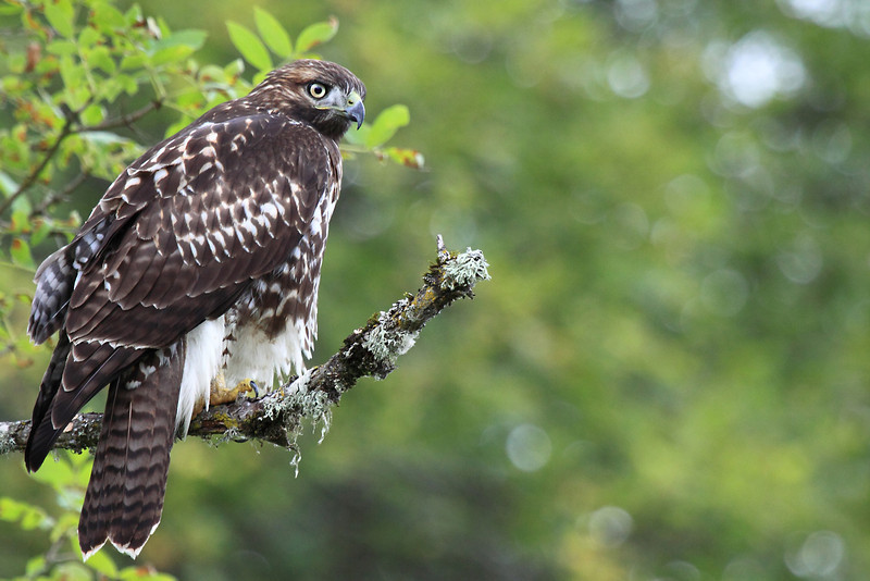 """A young red tail hawk looking for its next meal at RNWR  <div class=""""ss-paypal-button""""><br><form target=""""paypal"""" action=""""https://www.paypal.com/cgi-bin/webscr"""" method=""""post"""" ><input type=""""hidden"""" name=""""cmd"""" value=""""_cart""""><input type=""""hidden"""" name=""""business"""" value=""""947PXEXBHP9H8""""><input type=""""hidden"""" name=""""lc"""" value=""""US""""><input type=""""hidden"""" name=""""item_name"""" value=""""A young red tail hawk looking for its next meal at RNWR""""><input type=""""hidden"""" name=""""item_number"""" value=""""http:&#x2F;&#x2F;www.werthwildphotography.com&#x2F;Animals&#x2F;Birds&#x2F;Hawks-and-Harriers&#x2F;i-fk5LQbf""""><input type=""""hidden"""" name=""""button_subtype"""" value=""""products""""><input type=""""hidden"""" name=""""no_note"""" value=""""0""""><input type=""""hidden"""" name=""""cn"""" value=""""Add special instructions to the seller:""""><input type=""""hidden"""" name=""""no_shipping"""" value=""""2""""><input type=""""hidden"""" name=""""currency_code"""" value=""""USD""""><input type=""""hidden"""" name=""""shipping"""" value=""""4.00""""><input type=""""hidden"""" name=""""add"""" value=""""1""""><input type=""""hidden"""" name=""""bn"""" value=""""PP-ShopCartBF:btn_cart_LG.gif:NonHosted""""><table class=""""printSize""""><tr><td><input type=""""hidden"""" name=""""on0"""" value=""""Print size"""">Print size</td></tr><tr><td><select name=""""os0""""> <option value=""""5 x 7"""">5 x 7 $14.00 USD</option> <option value=""""8 x 10"""">8 x 10 $20.00 USD</option> <option value=""""8 x 12"""">8 x 12 $20.00 USD</option> <option value=""""11 x 14"""">11 x 14 $28.00 USD</option> <option value=""""12 x 18"""">12 x 18 $35.00 USD</option> <option value=""""16 x 20"""">16 x 20 $50.00 USD</option></select> </td></tr></table><input type=""""hidden"""" name=""""currency_code"""" value=""""USD""""><input type=""""hidden"""" name=""""option_select0"""" value=""""5 x 7""""><input type=""""hidden"""" name=""""option_amount0"""" value=""""14.00""""><input type=""""hidden"""" name=""""option_select1"""" value=""""8 x 10""""><input type=""""hidden"""" name=""""option_amount1"""" value=""""20.00""""><input type=""""hidden"""" name=""""option_select2"""" value=""""8 x 12""""><input type=""""hidden"""" name=""""option_amount2"""" value=""""20.00""""><input type=""""hidden"""" name=""""option_select3"""" value=""""11 x 14""""><input type=""""hidden"""" name=""""option_amoun"""