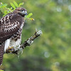 "A young red tail hawk looking for its next meal at RNWR  <div class=""ss-paypal-button""><br><form target=""paypal"" action=""https://www.paypal.com/cgi-bin/webscr"" method=""post"" ><input type=""hidden"" name=""cmd"" value=""_cart""><input type=""hidden"" name=""business"" value=""947PXEXBHP9H8""><input type=""hidden"" name=""lc"" value=""US""><input type=""hidden"" name=""item_name"" value=""A young red tail hawk looking for its next meal at RNWR""><input type=""hidden"" name=""item_number"" value=""http:&#x2F;&#x2F;www.werthwildphotography.com&#x2F;Animals&#x2F;Birds&#x2F;Hawks-and-Harriers&#x2F;i-fk5LQbf""><input type=""hidden"" name=""button_subtype"" value=""products""><input type=""hidden"" name=""no_note"" value=""0""><input type=""hidden"" name=""cn"" value=""Add special instructions to the seller:""><input type=""hidden"" name=""no_shipping"" value=""2""><input type=""hidden"" name=""currency_code"" value=""USD""><input type=""hidden"" name=""shipping"" value=""4.00""><input type=""hidden"" name=""add"" value=""1""><input type=""hidden"" name=""bn"" value=""PP-ShopCartBF:btn_cart_LG.gif:NonHosted""><table class=""printSize""><tr><td><input type=""hidden"" name=""on0"" value=""Print size"">Print size</td></tr><tr><td><select name=""os0""> <option value=""5 x 7"">5 x 7 $14.00 USD</option> <option value=""8 x 10"">8 x 10 $20.00 USD</option> <option value=""8 x 12"">8 x 12 $20.00 USD</option> <option value=""11 x 14"">11 x 14 $28.00 USD</option> <option value=""12 x 18"">12 x 18 $35.00 USD</option> <option value=""16 x 20"">16 x 20 $50.00 USD</option></select> </td></tr></table><input type=""hidden"" name=""currency_code"" value=""USD""><input type=""hidden"" name=""option_select0"" value=""5 x 7""><input type=""hidden"" name=""option_amount0"" value=""14.00""><input type=""hidden"" name=""option_select1"" value=""8 x 10""><input type=""hidden"" name=""option_amount1"" value=""20.00""><input type=""hidden"" name=""option_select2"" value=""8 x 12""><input type=""hidden"" name=""option_amount2"" value=""20.00""><input type=""hidden"" name=""option_select3"" value=""11 x 14""><input type=""hidden"" name=""option_amount3"" value=""28.00""><input type=""hidden"" name=""option_select4"" value=""12 x 18""><input type=""hidden"" name=""option_amount4"" value=""35.00""><input type=""hidden"" name=""option_select5"" value=""16 x 20""><input type=""hidden"" name=""option_amount5"" value=""50.00""><input type=""hidden"" name=""option_index"" value=""0""><input type=""image"" src=""https://www.paypalobjects.com/en_US/i/btn/btn_cart_LG.gif"" border=""0"" name=""submit"" alt=""PayPal - The safer, easier way to pay online!"" class=""btnPayPal""><img alt="""" border=""0"" src=""https://www.paypalobjects.com/en_US/i/scr/pixel.gif"" width=""1"" height=""1""></form></div><div class=""ss-paypal-button-end"" style=""display:none""></div>"
