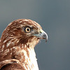 "Young red tail hawk profile, Ridgefield National Wildlife Refuge, 2010  <div class=""ss-paypal-button""><br><form target=""paypal"" action=""https://www.paypal.com/cgi-bin/webscr"" method=""post"" ><input type=""hidden"" name=""cmd"" value=""_cart""><input type=""hidden"" name=""business"" value=""947PXEXBHP9H8""><input type=""hidden"" name=""lc"" value=""US""><input type=""hidden"" name=""item_name"" value=""Young red tail hawk profile, Ridgefield National Wildlife Refuge, 2010""><input type=""hidden"" name=""item_number"" value=""http:&#x2F;&#x2F;www.werthwildphotography.com&#x2F;Animals&#x2F;Birds&#x2F;Hawks-and-Harriers&#x2F;i-hxm6KdG""><input type=""hidden"" name=""button_subtype"" value=""products""><input type=""hidden"" name=""no_note"" value=""0""><input type=""hidden"" name=""cn"" value=""Add special instructions to the seller:""><input type=""hidden"" name=""no_shipping"" value=""2""><input type=""hidden"" name=""currency_code"" value=""USD""><input type=""hidden"" name=""shipping"" value=""4.00""><input type=""hidden"" name=""add"" value=""1""><input type=""hidden"" name=""bn"" value=""PP-ShopCartBF:btn_cart_LG.gif:NonHosted""><table class=""printSize""><tr><td><input type=""hidden"" name=""on0"" value=""Print size"">Print size</td></tr><tr><td><select name=""os0""> <option value=""5 x 7"">5 x 7 $14.00 USD</option> <option value=""8 x 10"">8 x 10 $20.00 USD</option> <option value=""8 x 12"">8 x 12 $20.00 USD</option> <option value=""11 x 14"">11 x 14 $28.00 USD</option> <option value=""12 x 18"">12 x 18 $35.00 USD</option> <option value=""16 x 20"">16 x 20 $50.00 USD</option></select> </td></tr></table><input type=""hidden"" name=""currency_code"" value=""USD""><input type=""hidden"" name=""option_select0"" value=""5 x 7""><input type=""hidden"" name=""option_amount0"" value=""14.00""><input type=""hidden"" name=""option_select1"" value=""8 x 10""><input type=""hidden"" name=""option_amount1"" value=""20.00""><input type=""hidden"" name=""option_select2"" value=""8 x 12""><input type=""hidden"" name=""option_amount2"" value=""20.00""><input type=""hidden"" name=""option_select3"" value=""11 x 14""><input type=""hidden"" name=""option_amount3"" value=""28.00""><input type=""hidden"" name=""option_select4"" value=""12 x 18""><input type=""hidden"" name=""option_amount4"" value=""35.00""><input type=""hidden"" name=""option_select5"" value=""16 x 20""><input type=""hidden"" name=""option_amount5"" value=""50.00""><input type=""hidden"" name=""option_index"" value=""0""><input type=""image"" src=""https://www.paypalobjects.com/en_US/i/btn/btn_cart_LG.gif"" border=""0"" name=""submit"" alt=""PayPal - The safer, easier way to pay online!"" class=""btnPayPal""><img alt="""" border=""0"" src=""https://www.paypalobjects.com/en_US/i/scr/pixel.gif"" width=""1"" height=""1""></form></div><div class=""ss-paypal-button-end"" style=""display:none""></div>"