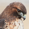 "Young red tail hawk profile, Ridgefield National Wildlife Refuge, 2010  <div class=""ss-paypal-button""><br><form target=""paypal"" action=""https://www.paypal.com/cgi-bin/webscr"" method=""post"" ><input type=""hidden"" name=""cmd"" value=""_cart""><input type=""hidden"" name=""business"" value=""947PXEXBHP9H8""><input type=""hidden"" name=""lc"" value=""US""><input type=""hidden"" name=""item_name"" value=""Young red tail hawk profile, Ridgefield National Wildlife Refuge, 2010""><input type=""hidden"" name=""item_number"" value=""http:&#x2F;&#x2F;www.werthwildphotography.com&#x2F;Animals&#x2F;Birds&#x2F;Hawks-and-Harriers&#x2F;i-xbqs358""><input type=""hidden"" name=""button_subtype"" value=""products""><input type=""hidden"" name=""no_note"" value=""0""><input type=""hidden"" name=""cn"" value=""Add special instructions to the seller:""><input type=""hidden"" name=""no_shipping"" value=""2""><input type=""hidden"" name=""currency_code"" value=""USD""><input type=""hidden"" name=""shipping"" value=""4.00""><input type=""hidden"" name=""add"" value=""1""><input type=""hidden"" name=""bn"" value=""PP-ShopCartBF:btn_cart_LG.gif:NonHosted""><table class=""printSize""><tr><td><input type=""hidden"" name=""on0"" value=""Print size"">Print size</td></tr><tr><td><select name=""os0""> <option value=""5 x 7"">5 x 7 $14.00 USD</option> <option value=""8 x 10"">8 x 10 $20.00 USD</option> <option value=""8 x 12"">8 x 12 $20.00 USD</option> <option value=""11 x 14"">11 x 14 $28.00 USD</option> <option value=""12 x 18"">12 x 18 $35.00 USD</option> <option value=""16 x 20"">16 x 20 $50.00 USD</option></select> </td></tr></table><input type=""hidden"" name=""currency_code"" value=""USD""><input type=""hidden"" name=""option_select0"" value=""5 x 7""><input type=""hidden"" name=""option_amount0"" value=""14.00""><input type=""hidden"" name=""option_select1"" value=""8 x 10""><input type=""hidden"" name=""option_amount1"" value=""20.00""><input type=""hidden"" name=""option_select2"" value=""8 x 12""><input type=""hidden"" name=""option_amount2"" value=""20.00""><input type=""hidden"" name=""option_select3"" value=""11 x 14""><input type=""hidden"" name=""option_amount3"" value=""28.00""><input type=""hidden"" name=""option_select4"" value=""12 x 18""><input type=""hidden"" name=""option_amount4"" value=""35.00""><input type=""hidden"" name=""option_select5"" value=""16 x 20""><input type=""hidden"" name=""option_amount5"" value=""50.00""><input type=""hidden"" name=""option_index"" value=""0""><input type=""image"" src=""https://www.paypalobjects.com/en_US/i/btn/btn_cart_LG.gif"" border=""0"" name=""submit"" alt=""PayPal - The safer, easier way to pay online!"" class=""btnPayPal""><img alt="""" border=""0"" src=""https://www.paypalobjects.com/en_US/i/scr/pixel.gif"" width=""1"" height=""1""></form></div><div class=""ss-paypal-button-end"" style=""display:none""></div>"