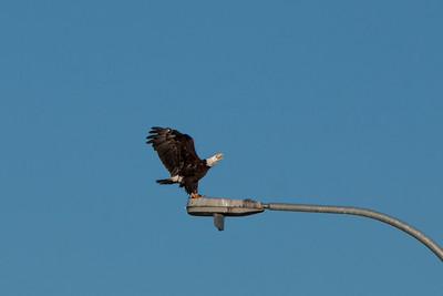 Bald Eagle, 520 Bridge, 2011